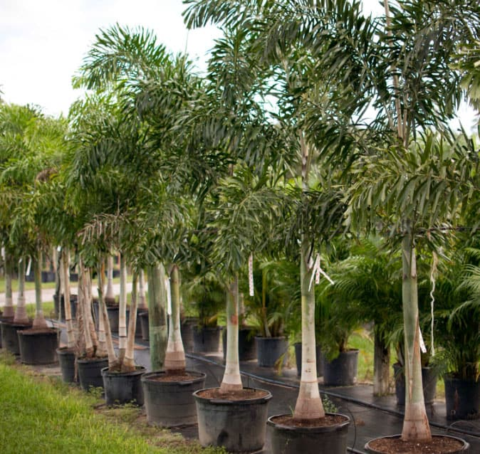Rows of foxtail palm trees in planting containers